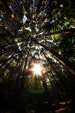 Looking up the cypress forest with lens flare Royalty Free Stock Photo