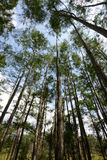 Looking up at cypress trees Stock Images
