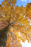 Looking up an elm tree with the sky above. Looking up into the canopy of an elm tree that has just begun to turn its fall colors royalty free stock photos