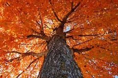 Looking Up at Fall Colors royalty free stock image