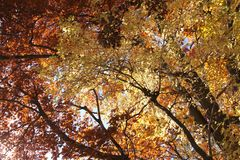 Looking up through fall foliage. In the forest; looking up through beautiful trees and seeing the sky peek through the colorful fall foliage Royalty Free Stock Images