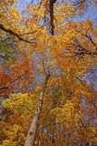 Looking up into the Fall Forest Stock Photography