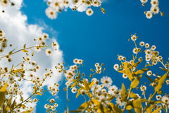 Looking up. Flowers seen from bottom. Sky in the background Royalty Free Stock Photo