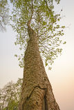 Looking up a Forest Giant Stock Images