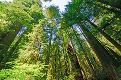 Looking up into Forest Giants Stock Images