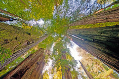 Looking up at Forest Giants Royalty Free Stock Photos