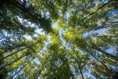 Looking up in Forest - Green Tree branches nature abstract. Background Stock Photo