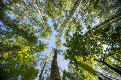 Looking up in Forest - Green Tree branches nature abstract background.  Royalty Free Stock Photos