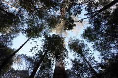 Looking up in the forest. Lights and shadows between the trees in Tasmania royalty free stock image