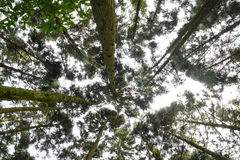 Looking up forest perspective. Looking up to the  clear sky Stock Image