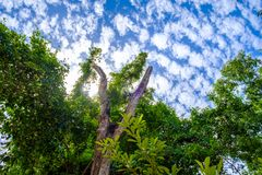 Looking up into the Forest to clouds blue sky, Path among the tr Royalty Free Stock Photos