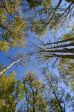 Looking up forest perspective. Looking up in  forest with wide angle lens Royalty Free Stock Images