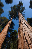 Looking up at Giant Sequoia Trees Stock Images