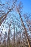 Looking up into the giants of a hardwood forest Stock Photo