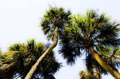 Looking up at the glowing palm trees royalty free stock photo