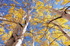 Looking up at golden aspens in the fall. Royalty Free Stock Photo