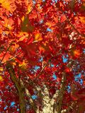 Looking up at a beautiful colorful oak tree in autum royalty free stock images