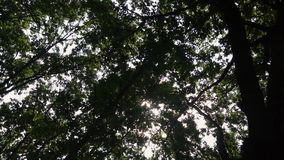 Looking up at green leaves in the woods.  stock video footage