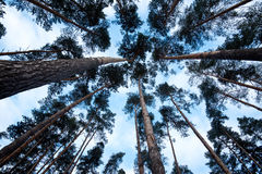 Looking up in a green pine tree forest at evening during spring Royalty Free Stock Photography