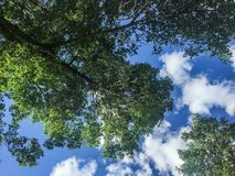 Looking up through green tree at blue summer sky Stock Image