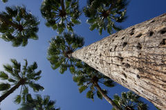 Looking up at a group of palm trees Stock Photo