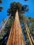 A redwood tree in the Redwood National Park royalty free stock photos