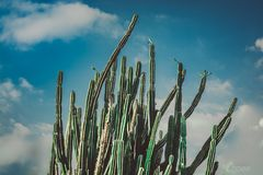 Looking up at huge Cactus Plant Royalty Free Stock Photography