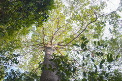 Looking up India rubber tree forest perspective, ant's eyes view Royalty Free Stock Photography