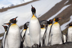 Looking up at a king penguin in Antarctica Royalty Free Stock Photos