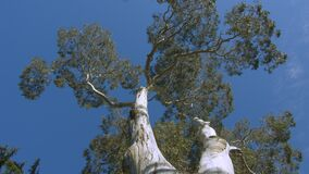 Looking up at a large Eucalyptus Gum tree