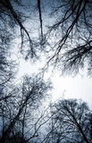 Looking up on leafless birch trees Stock Photography