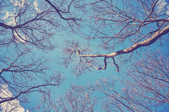 Looking up at the leafless tops of plane trees. Retro stylized picture stock photos