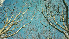 Looking up at the leafless tops of plane trees. Retro stylized picture royalty free stock photos