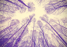 Looking up through leafless trees. Looking up through leafless trees, retro filtered background royalty free stock photo