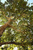 Looking up into a leafy green shade tree. Looking up into the branches of a leafy shade tree with a beautiful spreading canopy of fresh green spring or summer royalty free stock photography