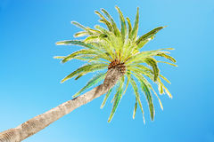 Looking up at leaning palm tree against blue sky, view from below, tropical travel concept royalty free stock photos