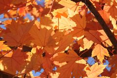 Looking up through the leaves of a Norway Maple tree. Sunlight shines through the red and orange leaves of a Norway Maple tree in fall Stock Image