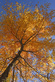 Looking up into a Maple in Full Fall Colors Stock Photo