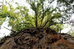 Looking up massive tree. Along the trunk to the top Stock Photography