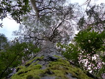 Looking up massive tree. Truck to the sky Royalty Free Stock Photography