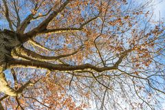 Looking up at the might oak tree befire sunset. In Kentucky Stock Images