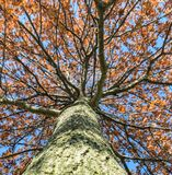 Looking up at the might oak tree befire sunset. In Kentucky Royalty Free Stock Photos