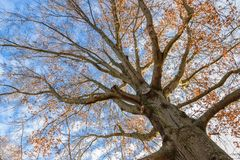 Looking up at the might oak tree befire sunset. In Kentucky Royalty Free Stock Photography