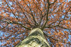 Looking up at the might oak tree befire sunset. In Kentucky Royalty Free Stock Image