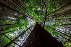 Looking up at the mighty fir Stock Photography