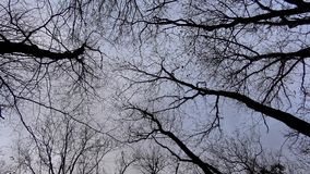 Looking up at the oak trees in winter in a strong windy day in 4K stock video footage