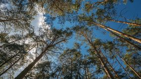 Looking up in oine coniferous forest trees woods to canopy. Bottom view wide angle background. Greenwood forest. Looking up in oine coniferous forest trees woods stock footage