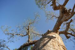 Looking up old baobab tree, trunk and branches with clear blue sky in background. stock photos