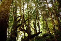 Looking Up in the Oregon Rainforest Near Hiking Trail Royalty Free Stock Photography