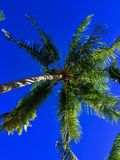Looking up at Palm Fronds in Fiji. While basking in the warm sun of Malolo Lailai Island in the Mamanuca Islands of Fiji in the South Pacific Ocean at Plantation royalty free stock photography
